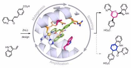 Crean una proteína artificial que reacciona más rápido que las enzimas naturales