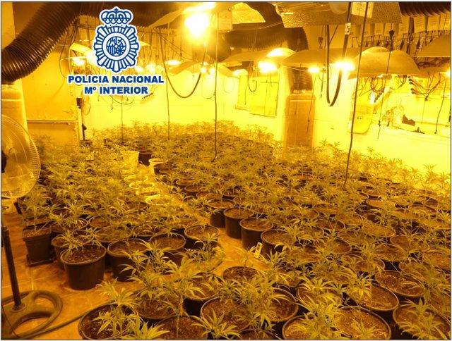 Tres detinguts en dues plantacions de marihuana a Terrassa