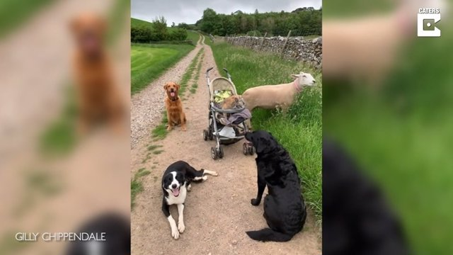 Conoce a Bella, la oveja Texel que está tan convencida de que es un perro que hasta huye de las otras ovejas