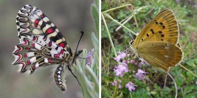 Archivo - Dos especies de mariposas estudiadas, 'Zerynthia rumina' (izquierda) y 'Lycaena virgaureae' (derecha)