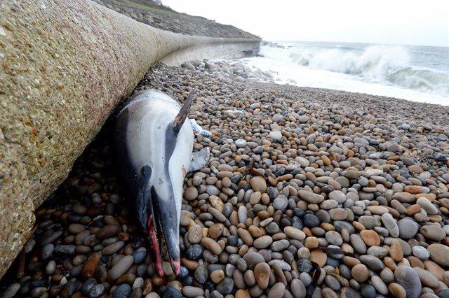 Archivo - Un cadáver de un delfín varado en Reino Unido