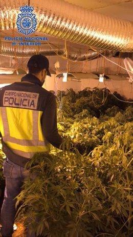 Plantación de marihuana en Badajoz