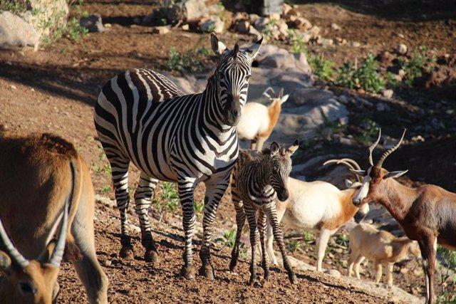 Archivo - Imagen de la cebra recién nacida en Terra Natura