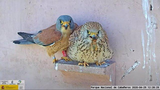 Los ciudadanos podrán observar los nidos de estas aves a través de tres webcams instaladas en el Centro de Visitantes del Parque Nacional de Cabañeros.