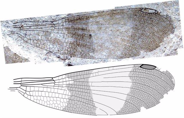 Ala de la nueva especie Okanagrion hobani, del sitio fósil de McAbee en Columbia Británica, un insecto con forma de caballito del diablo del nuevo suborden Cephalozygoptera