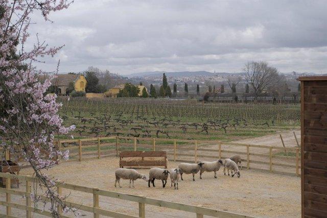 Archivo - Familia Torres inicia un plan para aplicar la agricultura regenerativa en sus viñedos