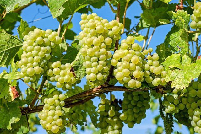 Recurso uvas