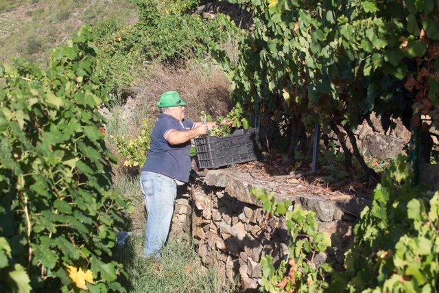 Archivo - Un vendimiador corta racimos de uvas en el viñedo de la Bodega Algueira de la D.O. Ribeira Sacra de Lugo durante la temporada 2020, en Doade, Lugo.