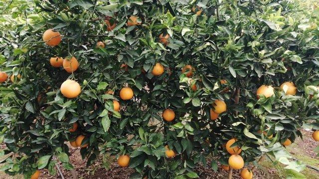 Naranjas tardías