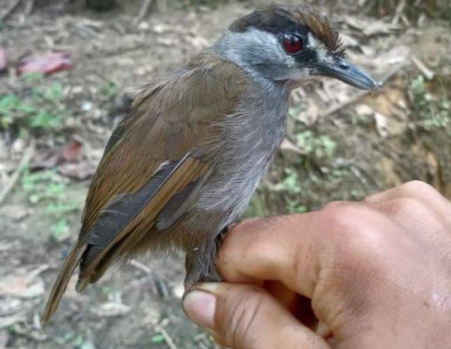 Tordina cejinegra capturada en Borneo