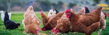 """Foto: La OMS asegura que el riesgo de contagio entre humanos de la gripe aviar H5N8 es """"bajo"""""""