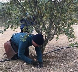 El Govern destina ayudas a la promoción del cultivo de trufa negra en Catalunya.