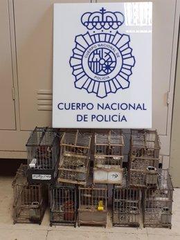 Recuperan nueve jilgueros de concurso y detienen a una persona acusada de sustraer 26 aves.