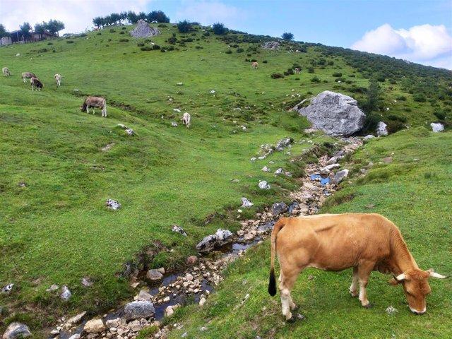 Archivo - Vacas de la raza asturiana de los valles pastando en el entorno de los Lagos de Covadonga.