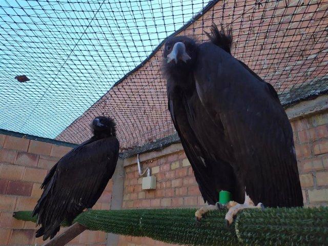 Buitres negros en un centro de recuperación de fauna salvaje.