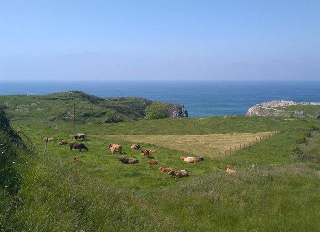 Archivo - Vacas, Asturiana de los valles, Rural, costa asturiana, playa de Cue en Llanes,