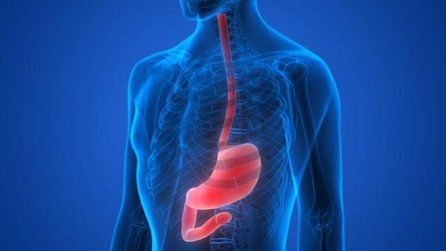 Archivo - Human Body Organs (Stomach Anatomy)