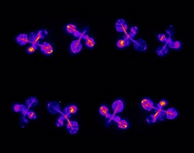 Plántulas que expresan un gen de luciérnaga emisor de luz controlado por el ritmo circadiano de la planta.