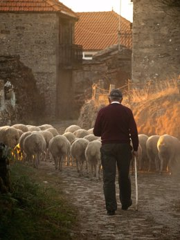 Archivo - Pastor con sus ovejas