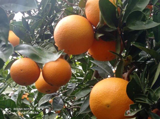 Naranjas La Torre