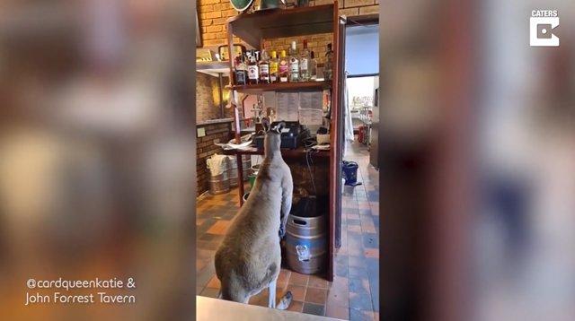 Conoce a Matt, el canguro que se cuela en un bar australiano todos los días y parece un empleado más