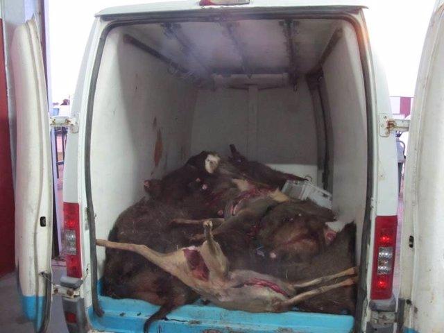 Animales requisados por la Guardia Civil en la investigación contra las dos empresas cárnicas.