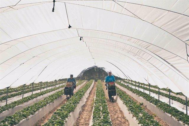 Archivo - Imagen de archivo de dos trabajadoras recogiendo fresas en un campo de Huelva.