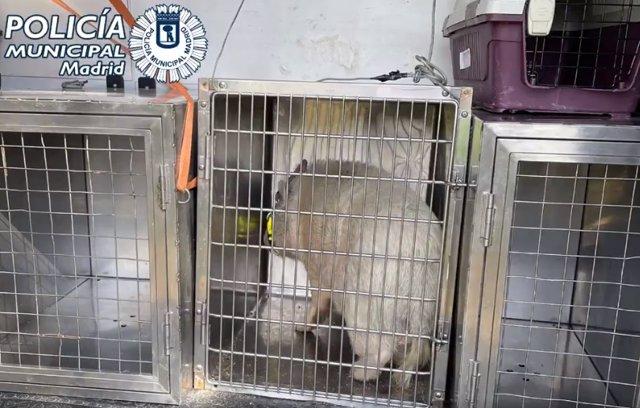 Capturan a un cerdo común abandonado en el Monte del Pardo