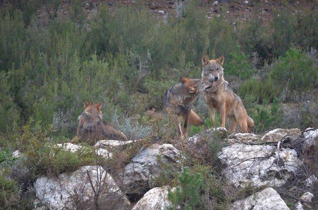 Ejemplares de lobo ibérico