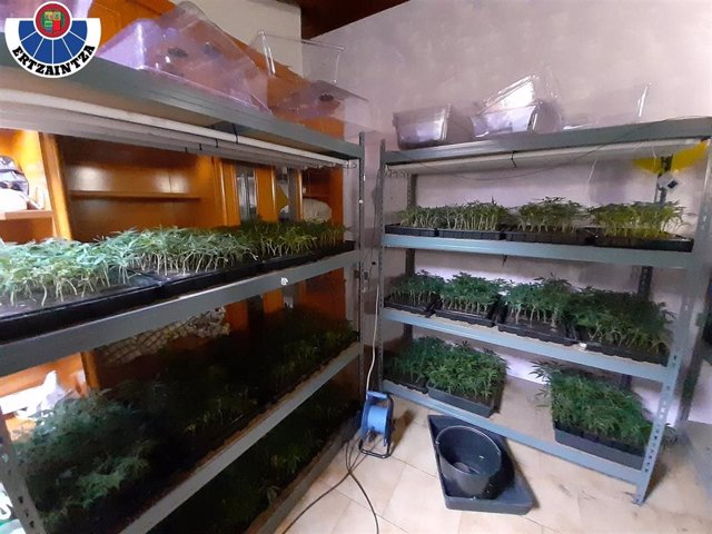 Semillero de marihuana intervenido en Dima (Bizkaia)