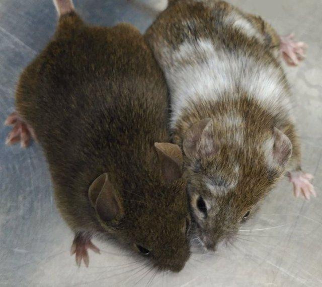 Archivo - Estos ratones son hermanos y deberían ser los dos marrones, pero uno de ellos se ha modificado con la técnica CRISPR y de ahí el cambio de color.