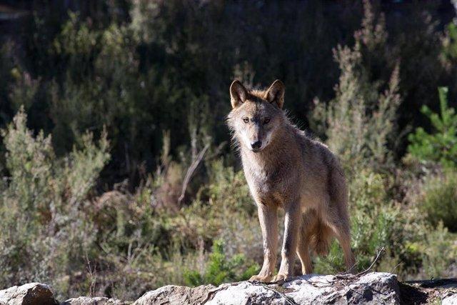Archivo - Un lobo ibérico del Centro del Lobo Ibérico en localidad de Robledo de Sanabria, en plena Sierra de la Culebra.