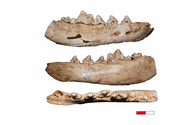 Archivo - Fósiles de canidae usados en el estudio