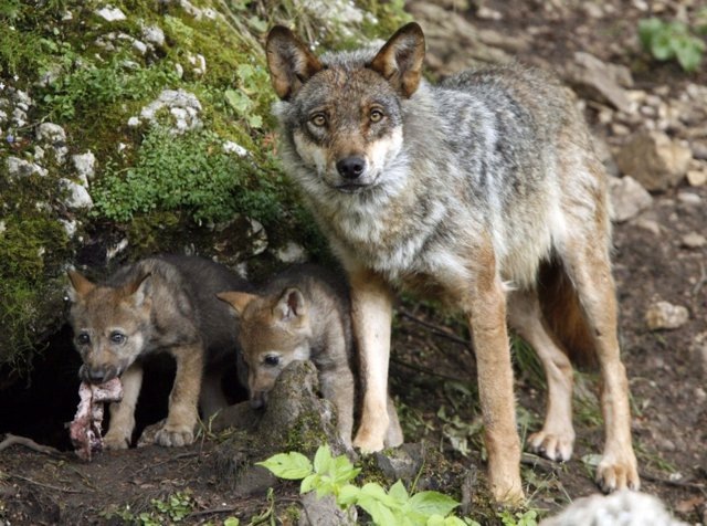 Lobo ibérico. Lobos