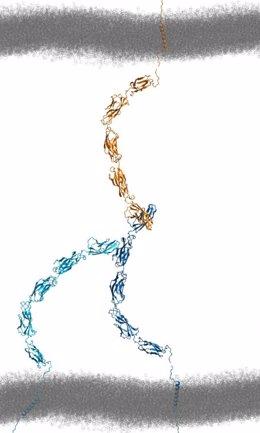 La adhesión celular implica interacciones complejas entre proteínas en ambas células.