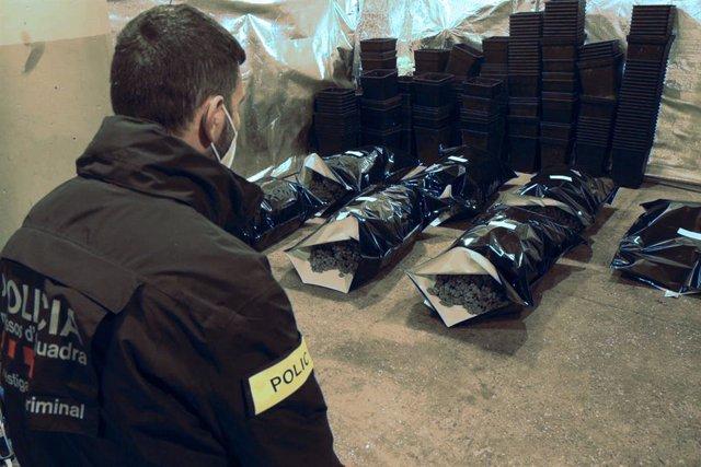 Archivo - Un agent dels Mossos d'Esquadra davant la marihuana confiscada en una plantació a Lliçà d'Amunt (Barcelona). Arxiu.