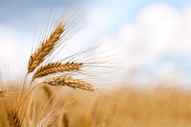 Archivo - Espigas de trigo