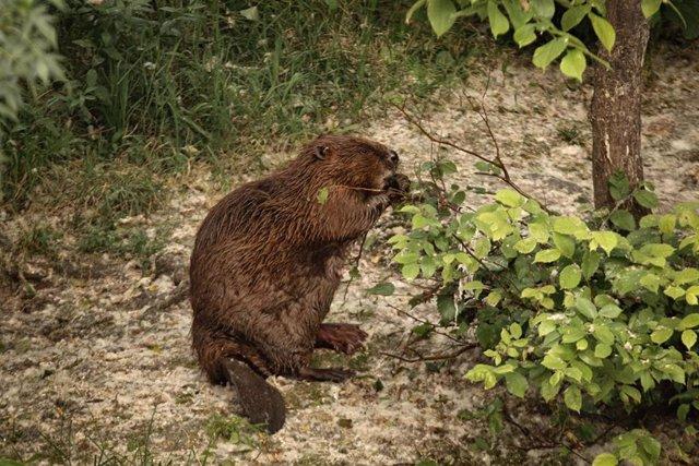 Archivo - Al menos 12 grupos de castores han sido localizados en el entorno del Parque Fluvial de la Comarca de Pamplona.