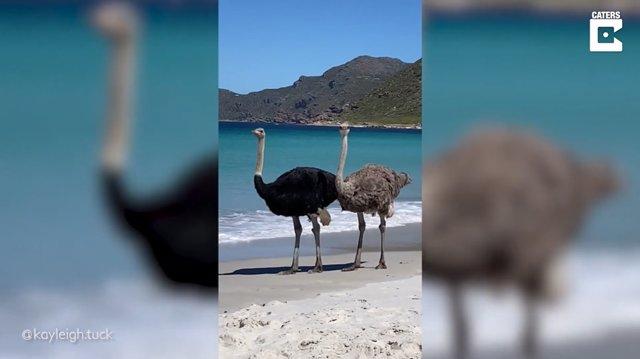 Un par de avestruces se dan un paseo por una playa de Ciudad del Cabo