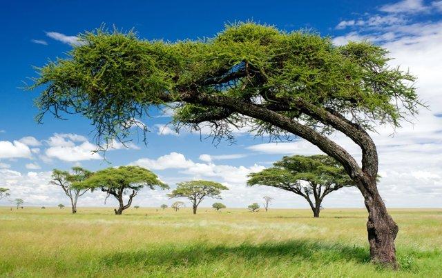 Archivo - Imagen de archivo de la vegetación en África.