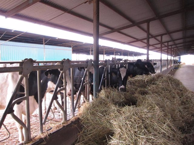 Archivo - Explotación de vacuno de leche en la comarca de Los Pedroches.