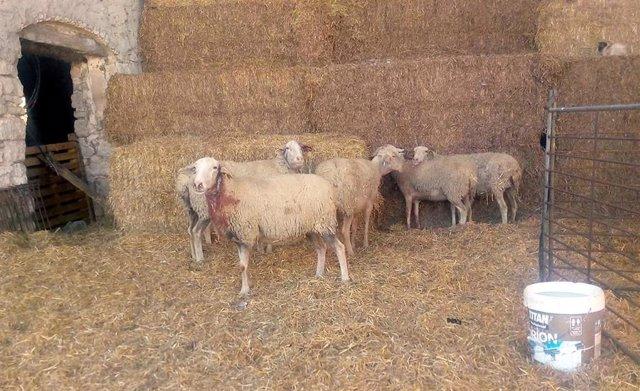 Rebaño atacado en Tardienta con ovejas heridas, en marzo de 2019.