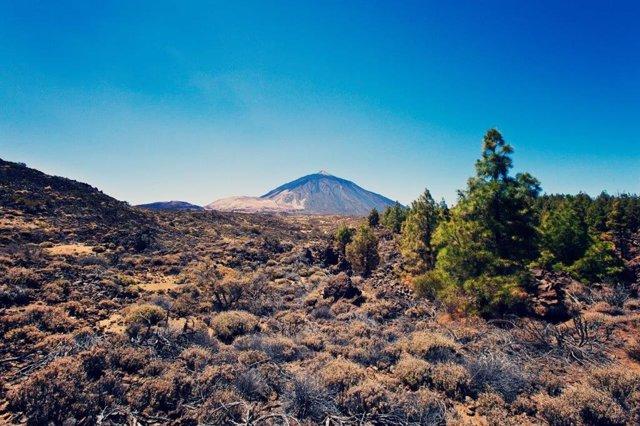 Archivo - Retamas en el Parque Nacional del Teide