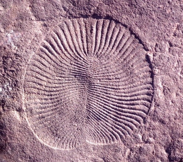 Fósil de Dickinsonia, un animal de la era Ediacara