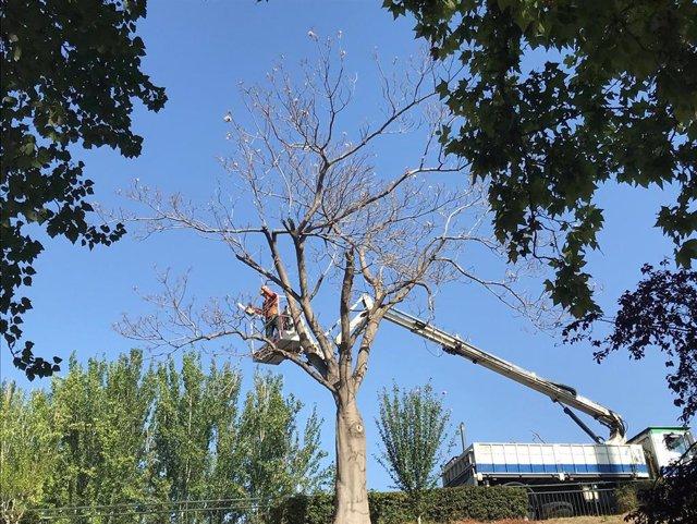Archivo - Poda de árboles