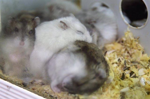 Archivo - Ratas de laboratorio, en una imagen de archivo.