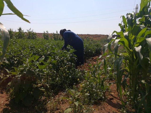 Una mujer en una plantación siria