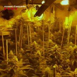 Desmantellades dues plantacions de marihuana al municipi d'Esparraguera.