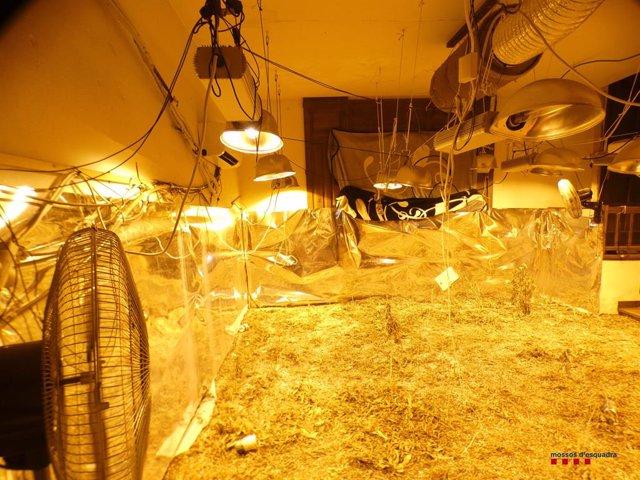 Desmantellada una plantació de marihuana dins una finca a Regencós (Girona)