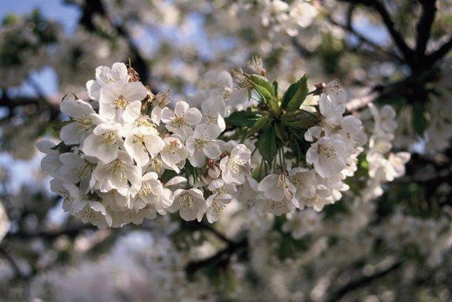 Archivo - Floración. DOP cereza del Jerte